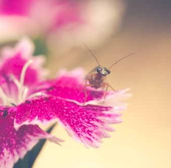 Cute bug (snakefly) on a pink flower petal looking back at you.