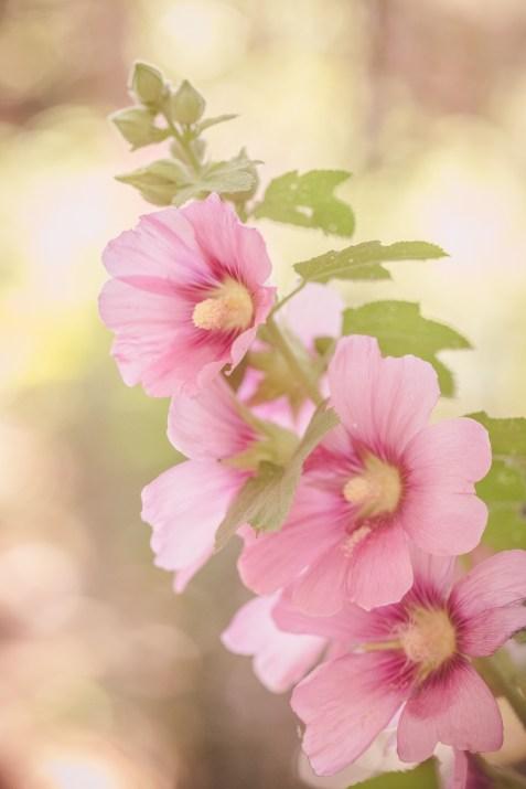 Pink Holly Hocks
