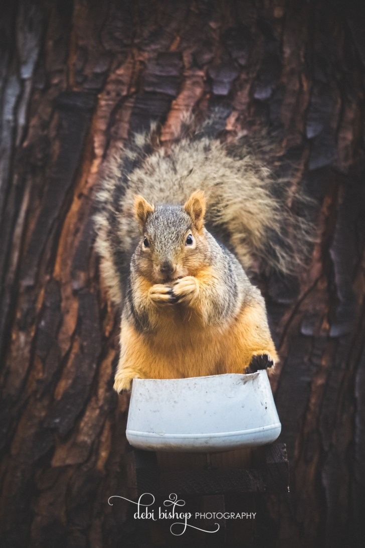 Hungry squirrel eating walnuts with his hands.