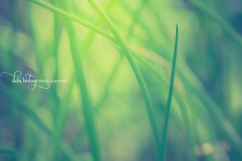 Green and grassy blades of chives.