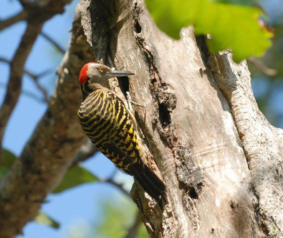 dominican woodpecker-1