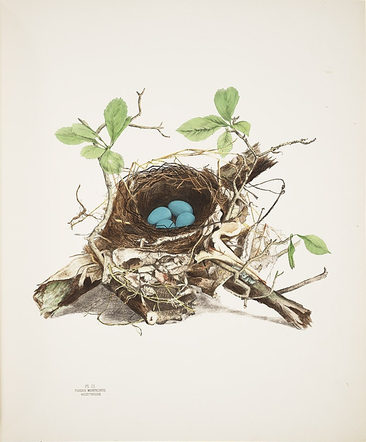 illustrations_of_the_nests_and_eggs_of_birds_of_ohio_-_plate_ii_-_smithsonian
