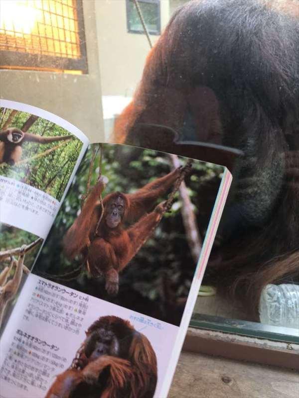 ポケット図鑑動物でオランウータンを調べる_R