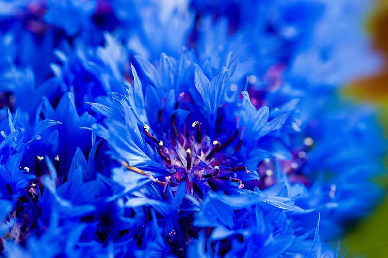 Centaurea Cyanus Flower Water