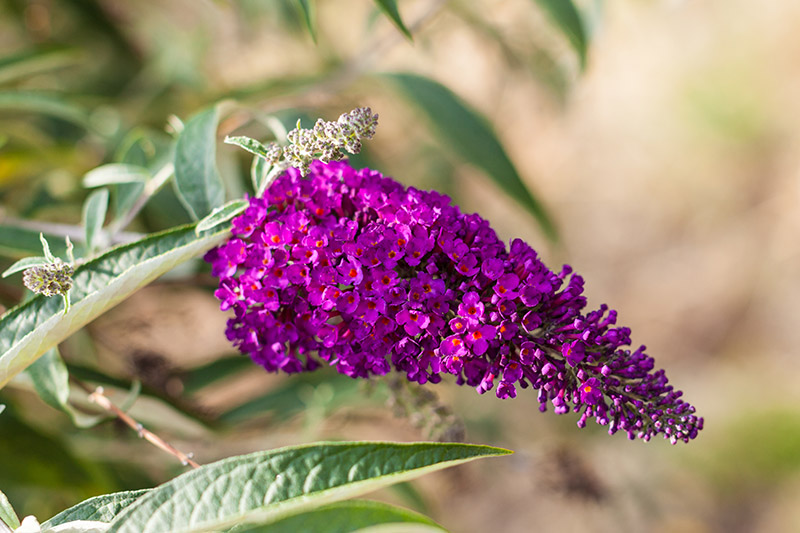 Buddleja Axillaris Leaf Extract