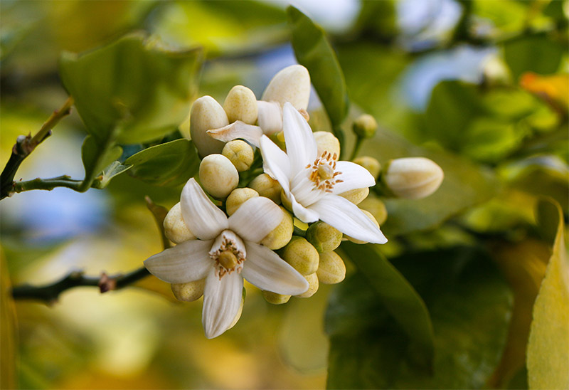 Citrus Aurantium Amara (Bitter Orange) Flower Extract