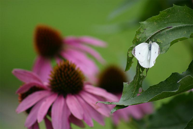 Echinacea Angustifolia Leaf Extract