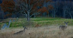 two deer in high grass