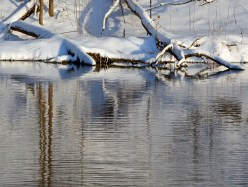 snow covered tree trunks and reflections