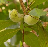 pawpaws in tree