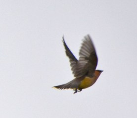 waxwing in flight