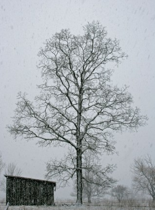 tree and barn in snowstorm