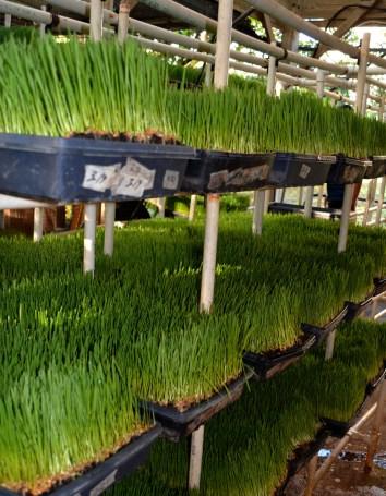 wheatgrass flats