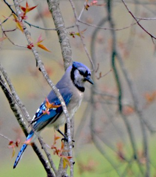 blue jay in cherry tree