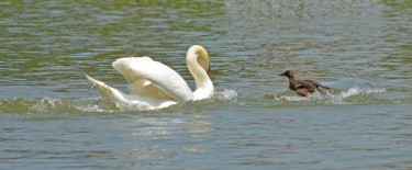 duck charges swan