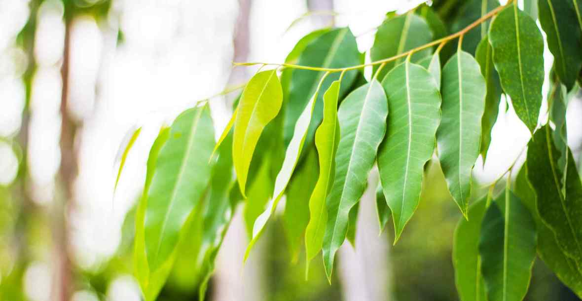 Hanging gum leaves. Natural beauty achieved by anti wrinkle injections, fillers & beauty treatments.