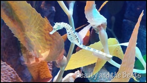 Seahorses SEA Life Aquarium I Drive 360 Orlando Beauty and the Beets