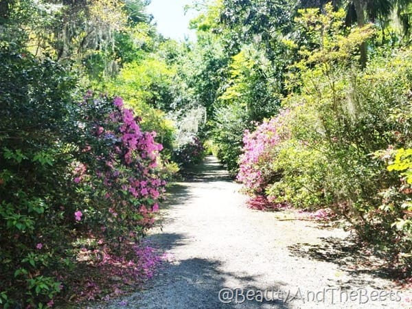 Magnolia Plantation Gardens Beauty and the Beets (4)