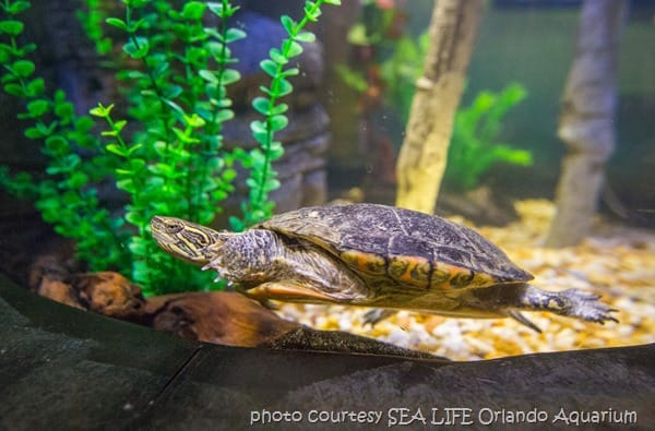 TurtleFest photo courtesy SEA LIFE Orlando Aquarium