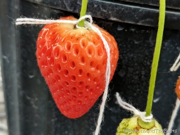 Florida Strawberry #FLStrawberry GCREC Beauty and the Beets