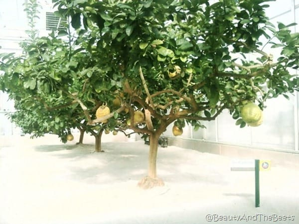 a row of lemon trees with very large yellow lemons on it
