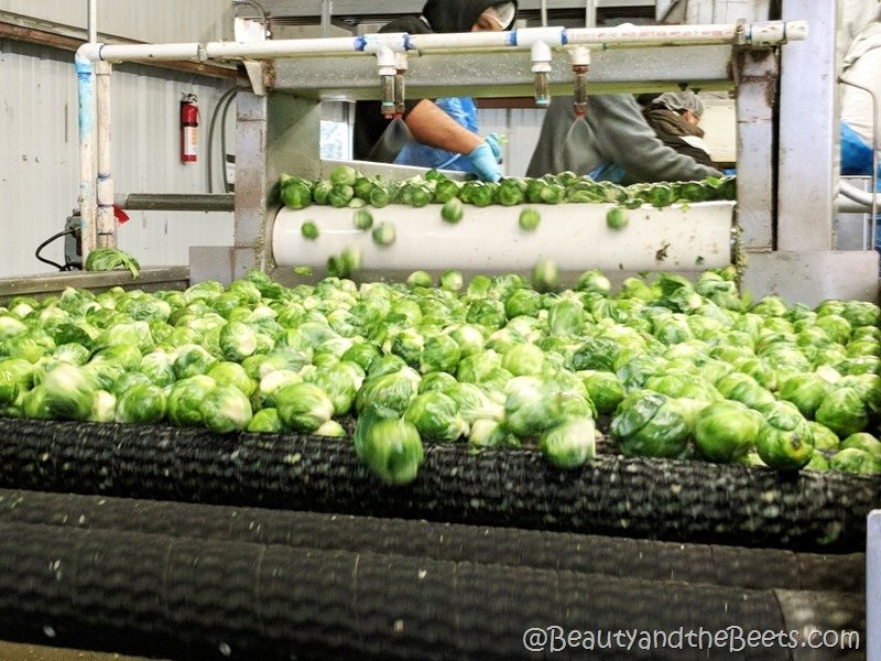 farming Brussels Sprouts Beauty and the Beets