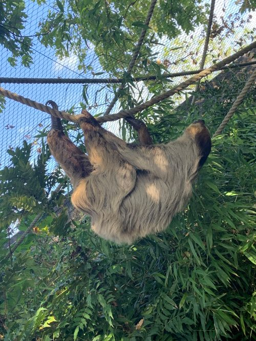 Sloth - Colchester Zoo