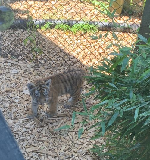 Tigers - Colchester Zoo