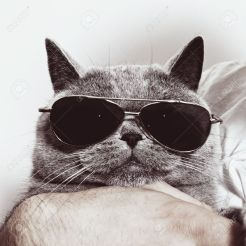 14978456-Funny-muzzle-of-gray-British-cat-in-sunglasses-closeup--Stock-Photo