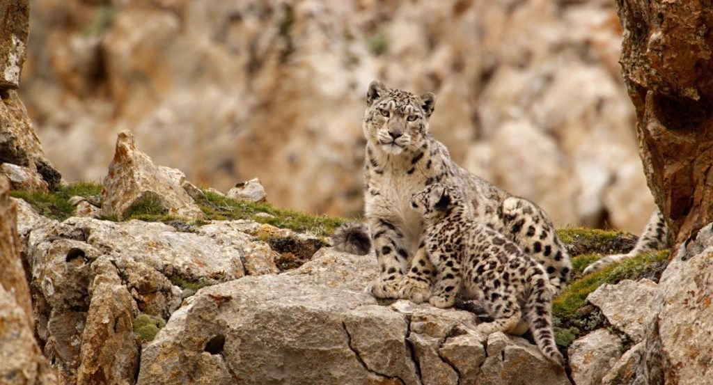 Snow Leopards Dawa and Cub