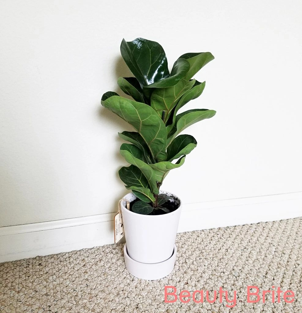 Compact size Fiddle Leaf Fig