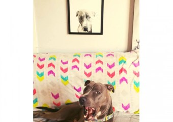 Framed Picture of Harley the Pit!