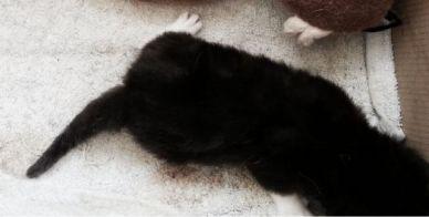 kitten zwart