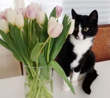 toulouse tulpen