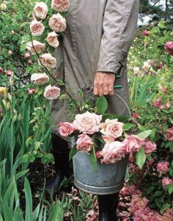 rosa-giardino