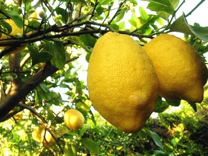 piante-limoni