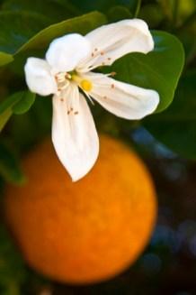 Majda-Bekkali-fiori-arancio