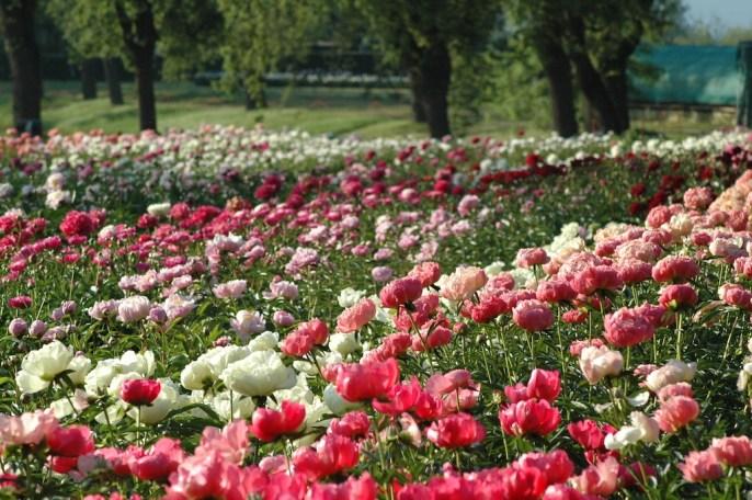 peonie-fioritura-vivai-delle-commande