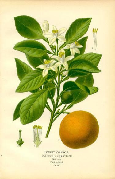 vero-ker-profumi-fiori-d'arancio-botanical-print