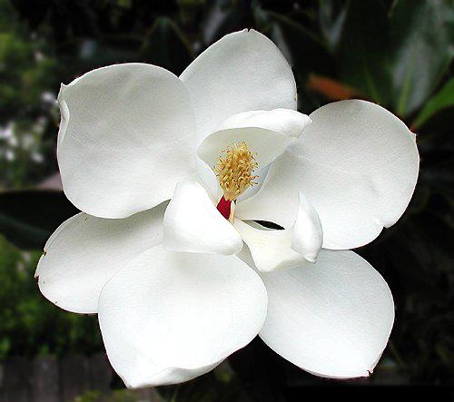 profumo-annick-goutal-magnolia