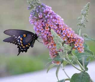 perfume-Jorg-Zimmermann-butterfly_bush
