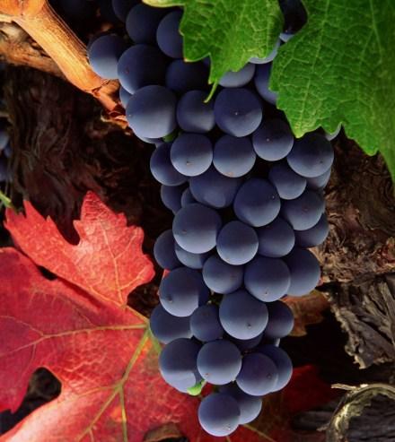 Vino-Veritas-Caudalie-Chateaux-Smith-Haut-Lafitte-grapes