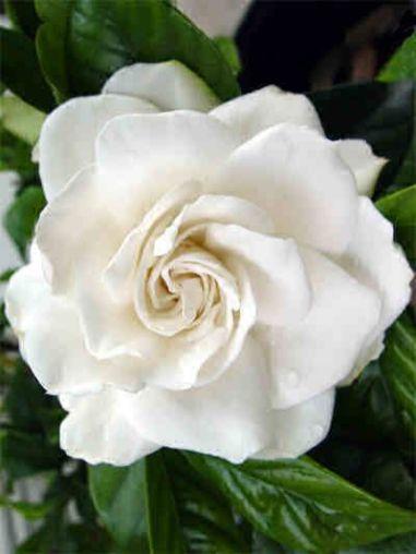 profumo-Agent-Provocateur-Fatale-gardenia