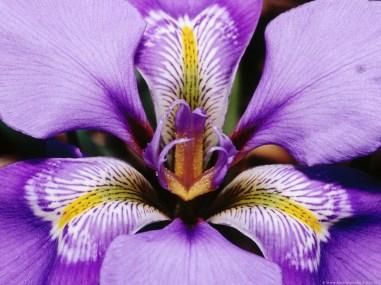 juliet-has-a-gun-moon-dance-iris