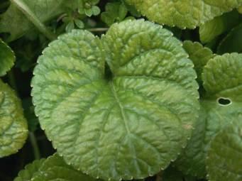 Bertrand-Duchaufour-I-Miss-Violet-note-olfattive-foglie-violetta