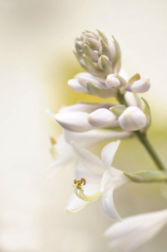 Sedbury-Parfums de Marly-profumo-tuberosa-2