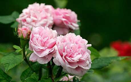 profumo-Paris-premiere-rose-Rosa-damascena_1672971c