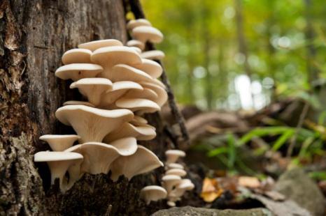 oyster-mushrooms