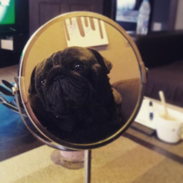 Отражение на черен мопс в огледало.