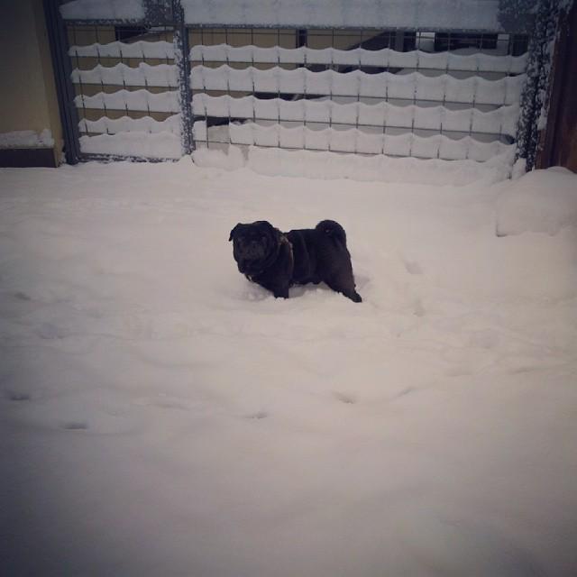 Черен мопс в снега
